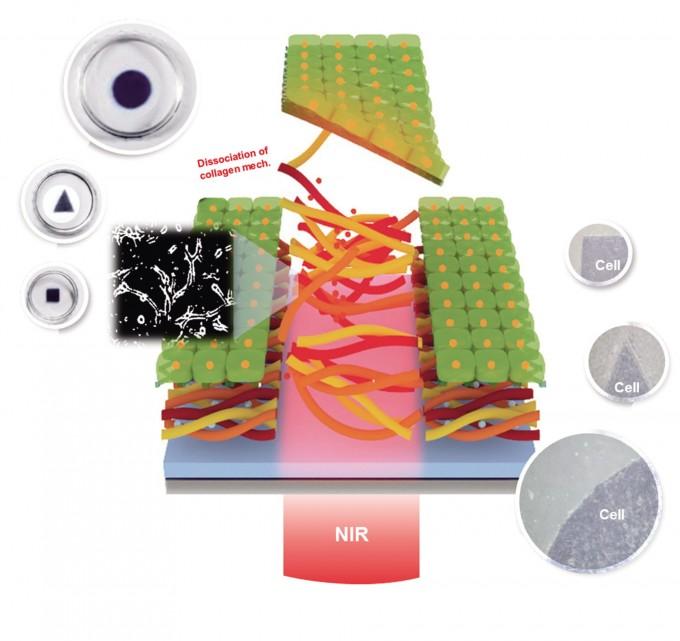 근적외선(NIR)을 쪼이면 콜라겐이 녹으면서 자연스럽게 분리된 세포시트(연두색)를 얻을 수 있다.적외선을 쪼이는 모양에 따라 다양한 모양의 세포시트를 만들 수 있다. - 연세대 화공생명공학부 제공